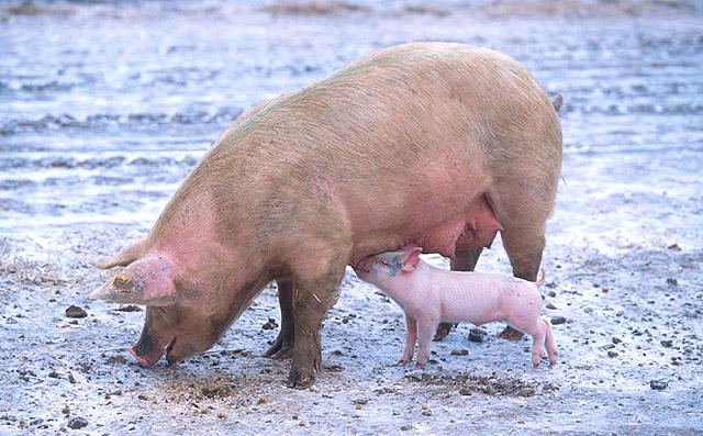 Sow_piglet_ARS-USDA-k9441-1